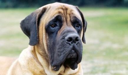 mastiff-doggy-scoop-two-1